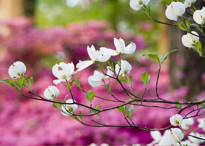 Chatham County Greeting Card featuring the photograph Floating Dogwood by Eggers Photography