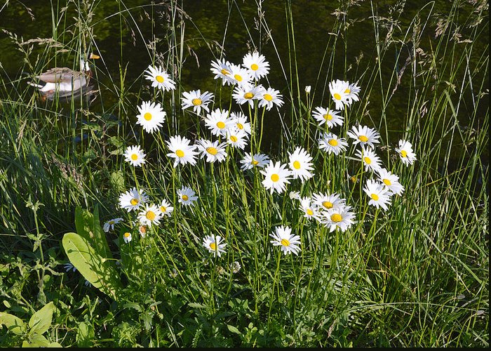 Daisies Greeting Card featuring the photograph Flora And Fauna by Bishopston Fine Art