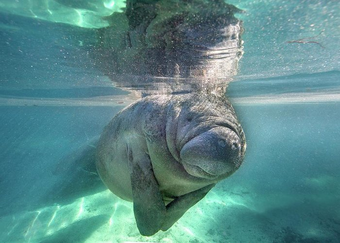 Underwater Greeting Card featuring the photograph Florida Manatee by Ai Angel Gentel