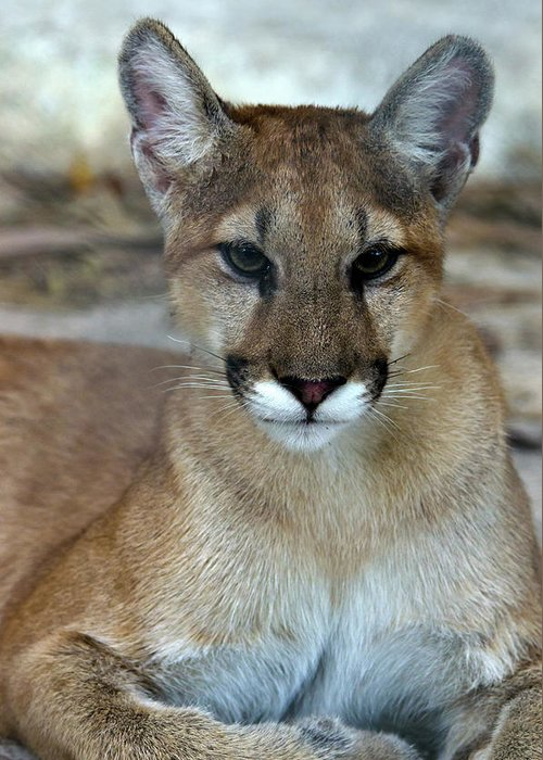 Animal Themes Greeting Card featuring the photograph Florida Panther, Endangered by Mark Newman