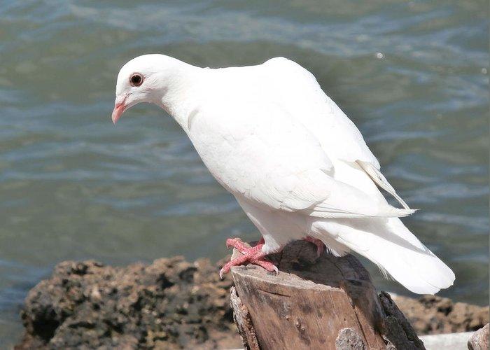 Florida White Pigeon Greeting Card
