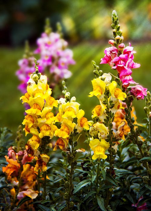 Antirrhinum Greeting Card featuring the photograph Flower - Antirrhinum - Grace by Mike Savad