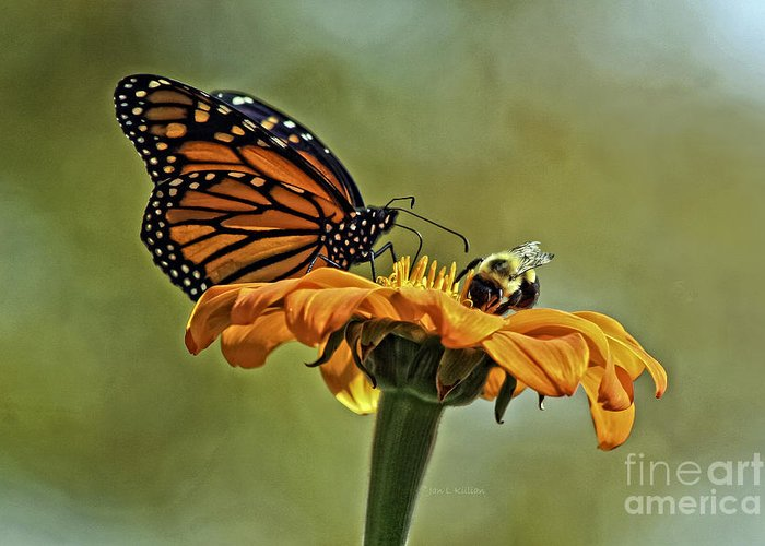 Mexican Sunflower Greeting Card featuring the photograph Flower Duet by Jan Killian