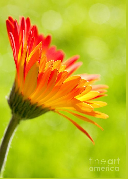 Flower Greeting Card featuring the photograph Flower In The Sunshine - Orange Green by Natalie Kinnear