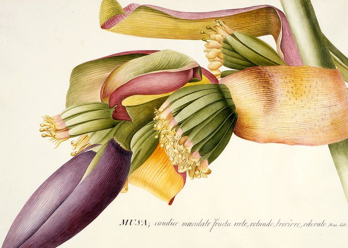 Ehret Greeting Card featuring the painting Flower Of The Banana Tree by Georg Dionysius Ehret