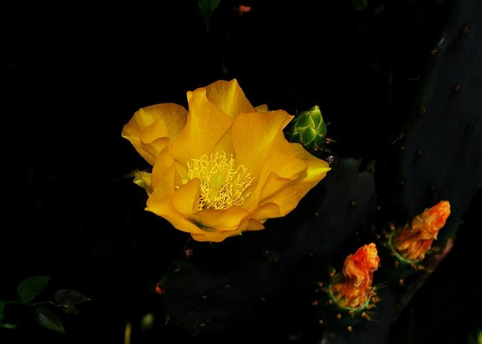 Cactus Greeting Card featuring the photograph Flower Of The Desert by Stephen Denmark