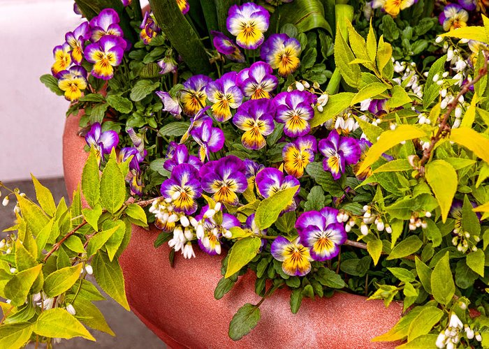 Pansy Greeting Card featuring the photograph Flower - Pansy - Purple Posies by Mike Savad