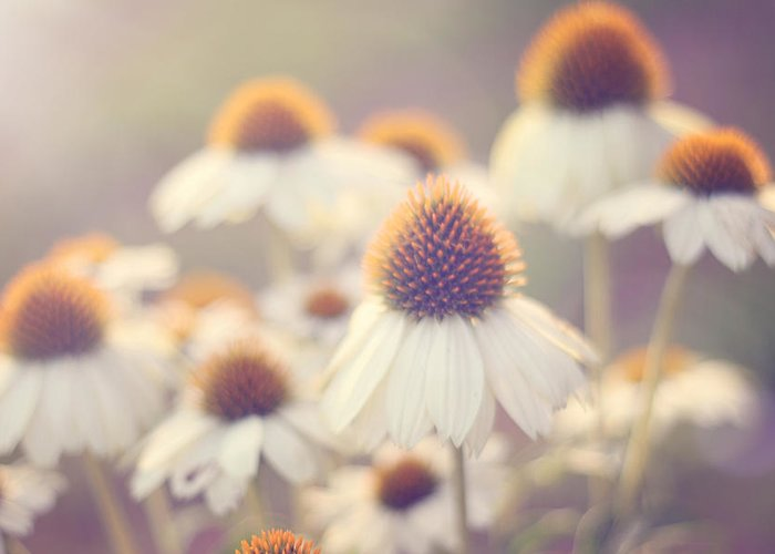 Coneflower Photography Greeting Card featuring the photograph Flowerchild by Amy Tyler