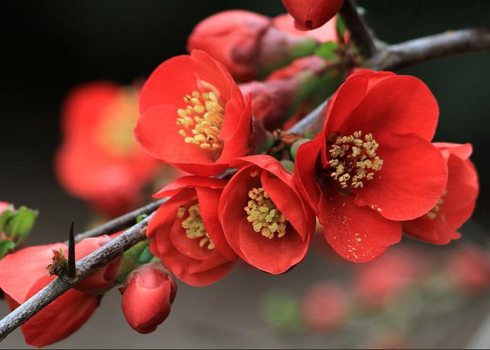 Flower Greeting Card featuring the photograph Flowering Quince by Angie Vogel
