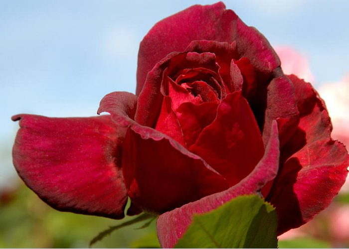 Rose Greeting Card featuring the photograph Flowers 459 by Joyce StJames