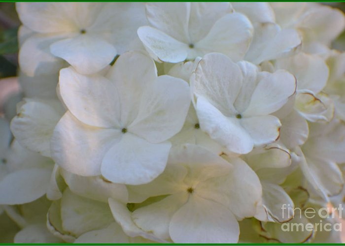 Snowball Flowers Greeting Card featuring the photograph Snowball Flowers by Luv Photography