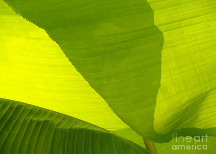 Banana Plant Greeting Card featuring the photograph Flowing Banana Leaf by Anna Lisa Yoder