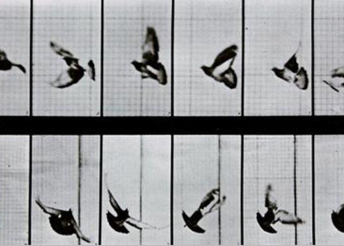 Muybridge Greeting Card featuring the photograph Flying Bird by Eadweard Muybridge