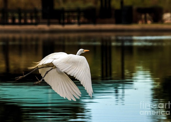 Birds Greeting Card featuring the photograph Flying Egret by Robert Bales
