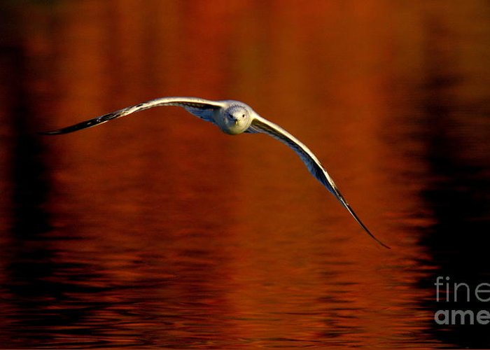 Wildlife Greeting Card featuring the photograph Flying Gull On Fall Color by Robert Frederick