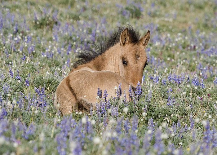 Foal Greeting Card featuring the photograph Foal In The Lupine by Carol Walker