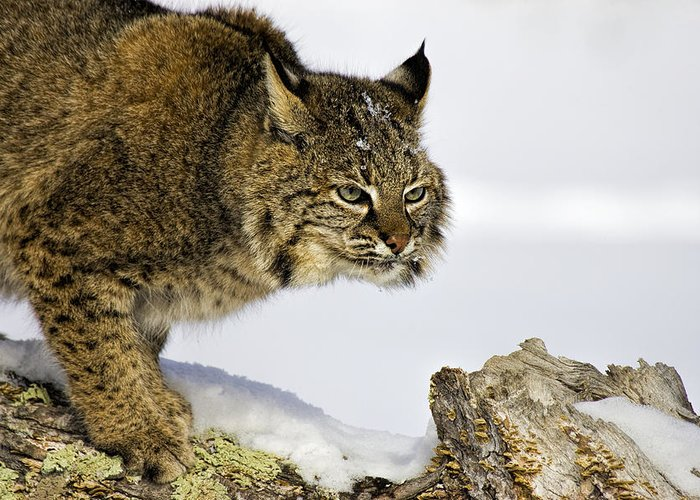 Bobcat Greeting Card featuring the photograph Focusing by Jack Milchanowski