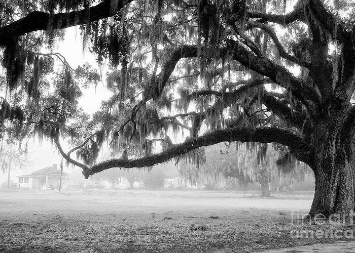 Live Oak Greeting Card featuring the photograph Foggy Morning On Coosaw Plantation by Scott Hansen