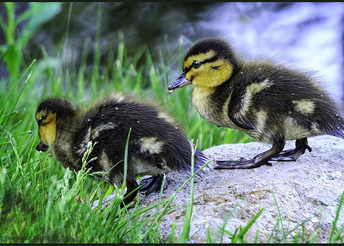 Usa Greeting Card featuring the photograph Follow The Leader Ducky Style by LeeAnn McLaneGoetz McLaneGoetzStudioLLCcom