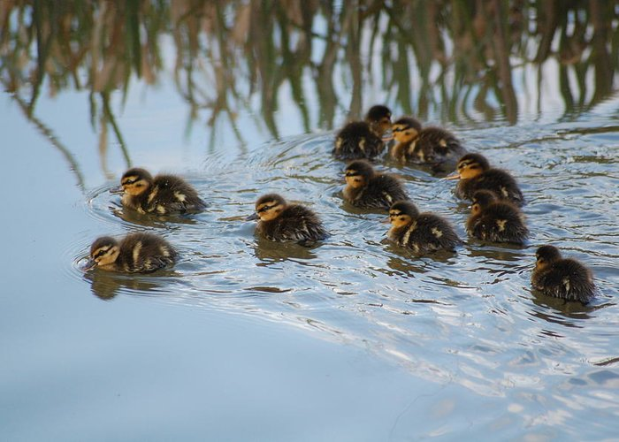 Ducklings Greeting Card featuring the photograph Follow The Leader by Harvey Scothon