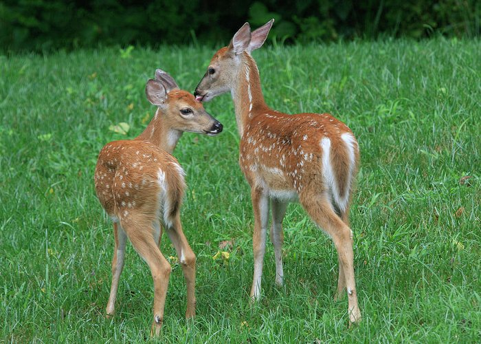 Deer Greeting Card featuring the photograph Fond Fawns by Charles Warren