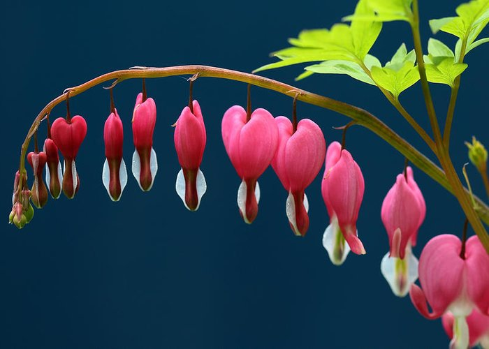 Bleeding Hearts Greeting Card featuring the photograph Bleeding Hearts For Your Love by Debbie Oppermann