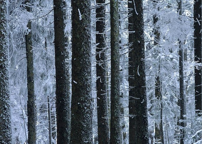 Cold Temperature Greeting Card featuring the photograph Forest In Winter by Bernard Jaubert