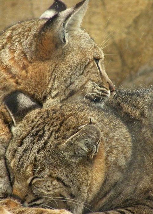 Bobcats Greeting Card featuring the photograph Forever by Teresa Schomig