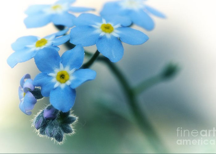 Forget Me Not Greeting Card featuring the photograph Forget Me Not by Simona Ghidini