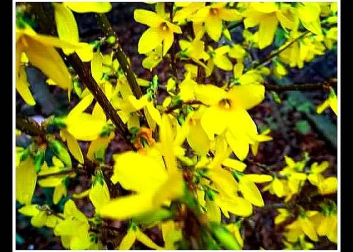 Yellow Bush Greeting Card featuring the photograph Forsythia Blooms In Spring by Kristy Cotone
