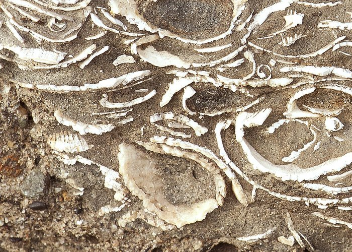 Fossils Greeting Card featuring the photograph Fossils Layered In Sand And Rock by Artist and Photographer Laura Wrede