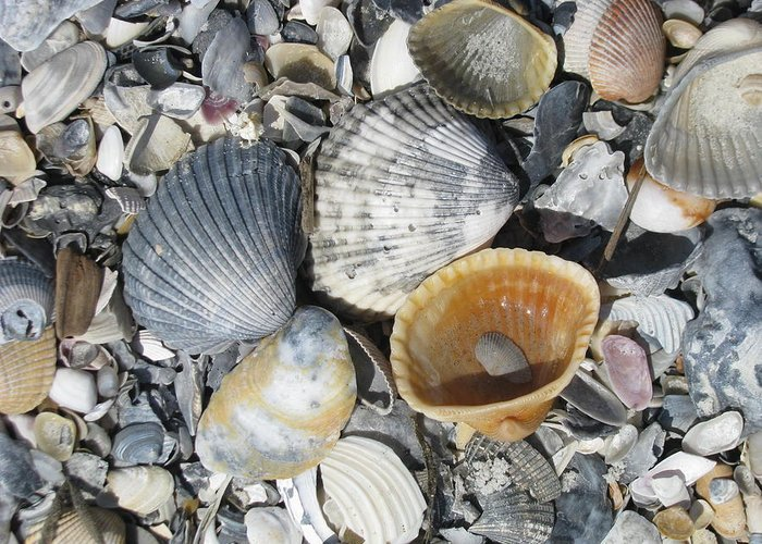 Landscape Greeting Card featuring the photograph Four Beautiful Shells by Ellen Meakin