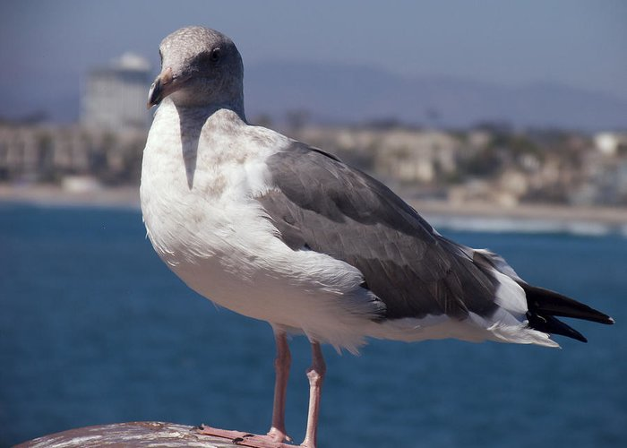 Seagull Greeting Card featuring the photograph Waterfowl Model by Richard J Cassato