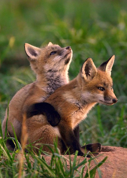 Fox Greeting Card featuring the photograph Fox Cub Buddies by William Jobes