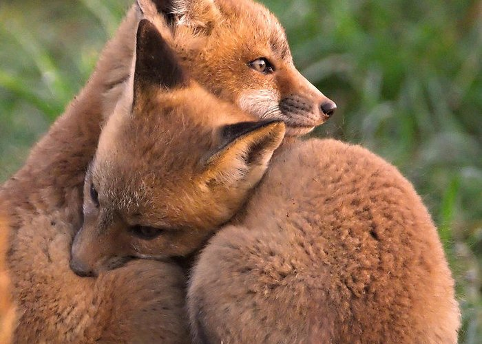 Fox Greeting Card featuring the photograph Fox Cubs Cuddle by William Jobes