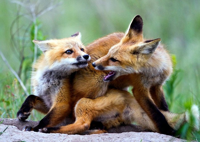 2012 Nbc Weather Calendar Greeting Card featuring the photograph Fox Kits At Play - An Exercise In Dominance by Merle Ann Loman