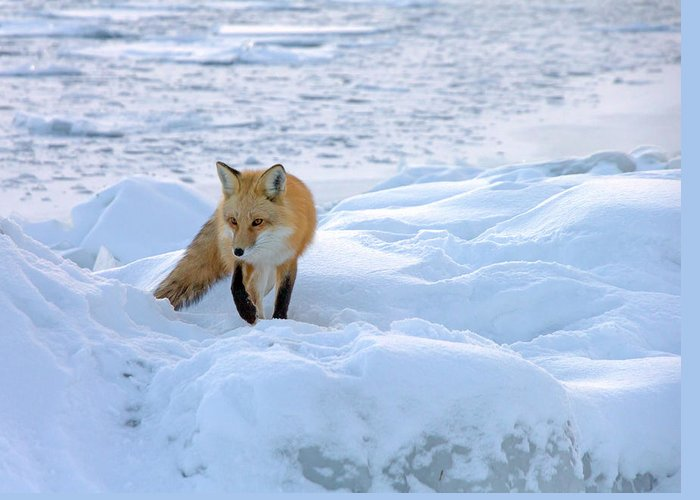 Red Fox Greeting Card featuring the photograph Fox Of The North II by Mary Amerman