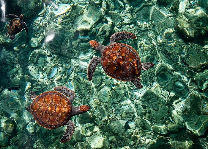 Maldives Greeting Card featuring the photograph Fragile Underwater World. Sea Turtles In A Crystal Water. Maldives by Jenny Rainbow