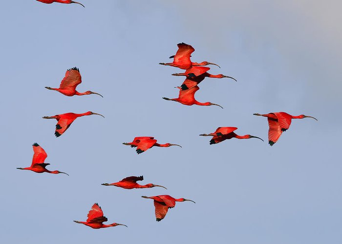 Scarlet Ibis Greeting Card featuring the photograph Frankly Scarlet by Tony Beck