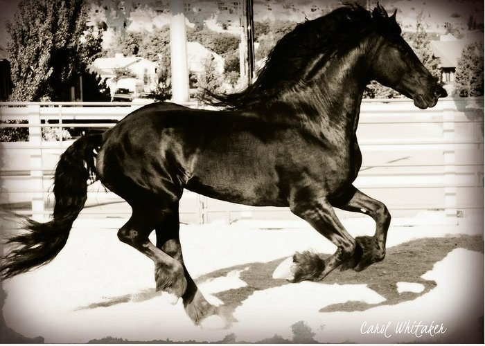 Friesian Stallion Canvas Print Greeting Card featuring the photograph Free Running by Royal Grove Fine Art