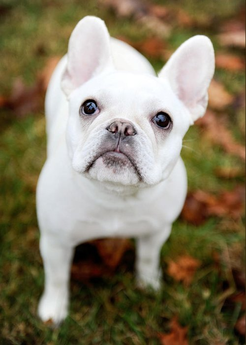Dog Greeting Card featuring the photograph Frenchie Eyes by Kelley Nelson