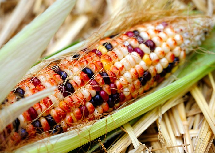 Corn Greeting Card featuring the photograph Fresh Decorative Indian Corn by Don Bendickson