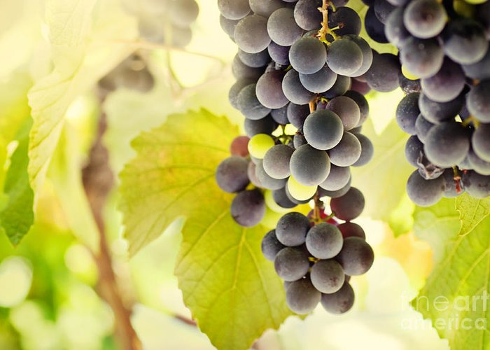 Juicy Greeting Card featuring the photograph Fresh Ripe Grapes by Mythja Photography