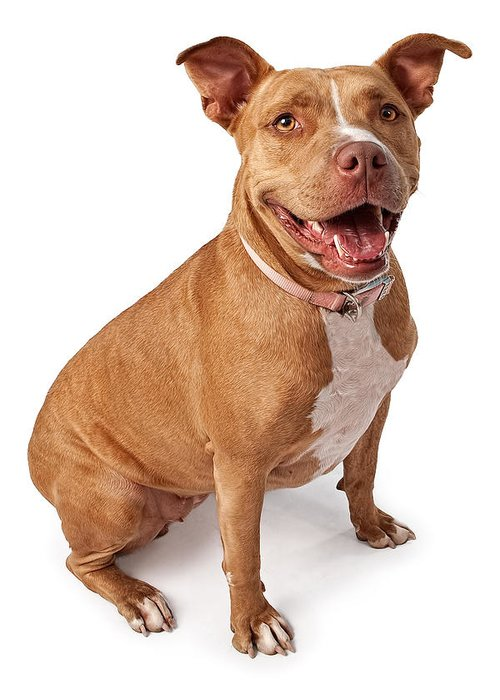 Dog Greeting Card featuring the photograph Friendly Pit Bull by Susan Schmitz