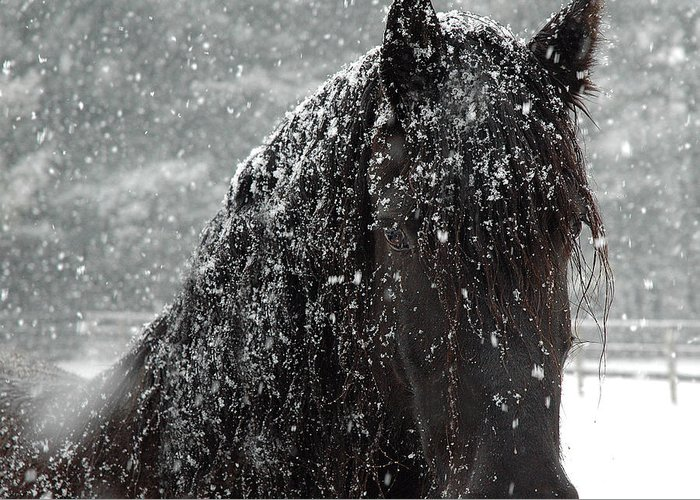Friesian Horse Greeting Cards