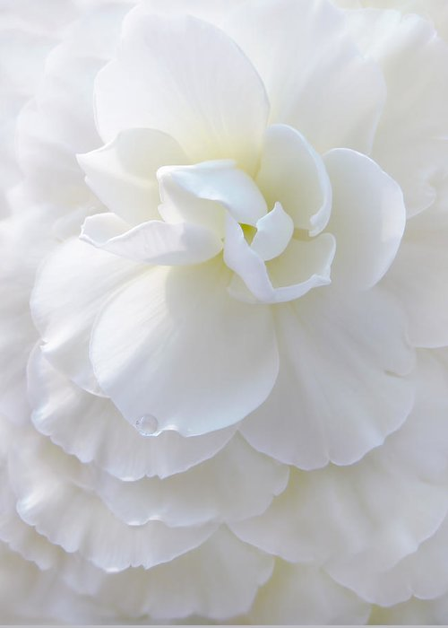 Begonia Greeting Card featuring the photograph Frilly Ivory Begonia Flower by Jennie Marie Schell