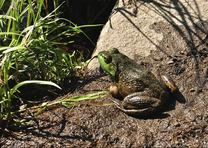 American Bull Frog Greeting Card featuring the photograph American Bull Frog by J Scott Davidson