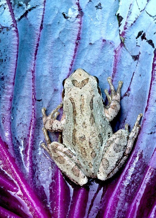 Jeannoren Greeting Card featuring the photograph Frog On Cabbage by Jean Noren