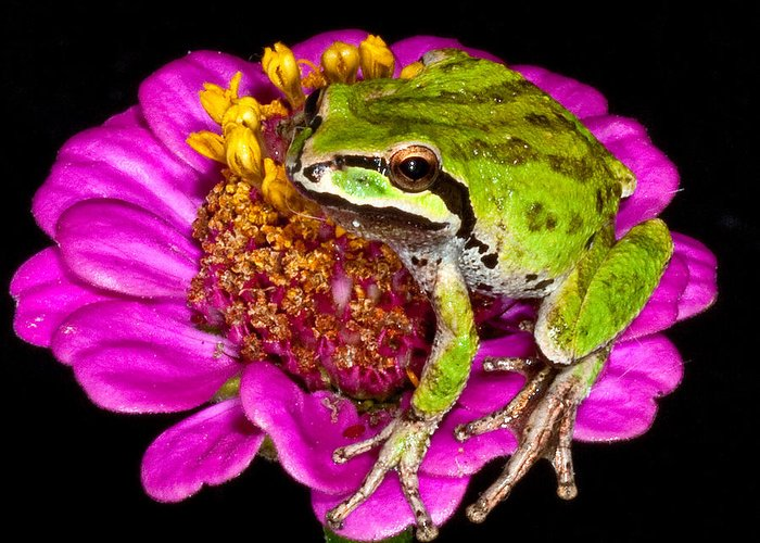 Greeting Card featuring the photograph Frog On Flower by Jean Noren