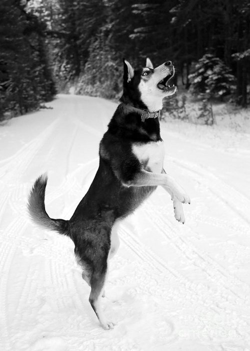 Dog Greeting Card featuring the photograph Frolicking In The Snow - Black And White by Carol Groenen
